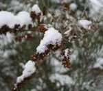 winter-buddleia