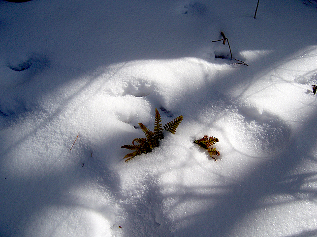 Fern peeking out of the snow