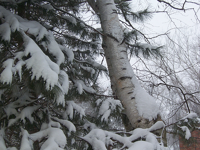 White birch and pine with snow
