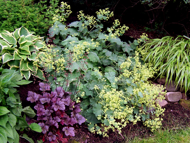 Coral Bells and Lady's Mantle