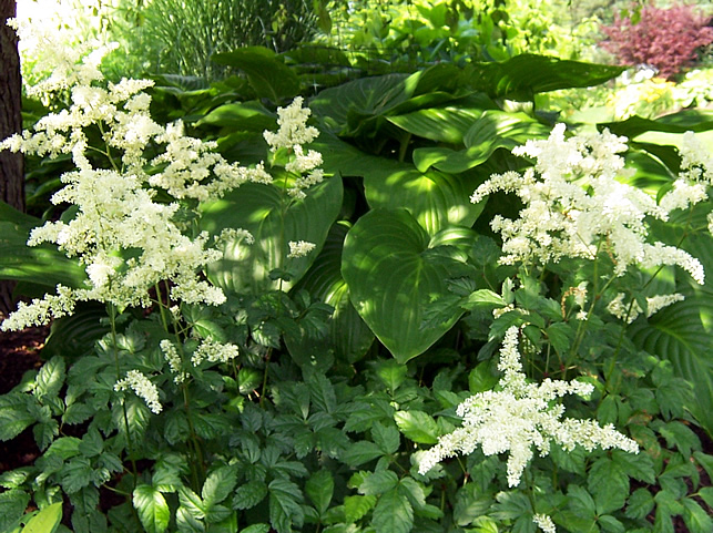 Avalanche astilbe