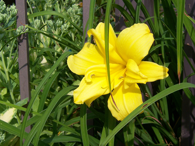 Double Charm Daylily