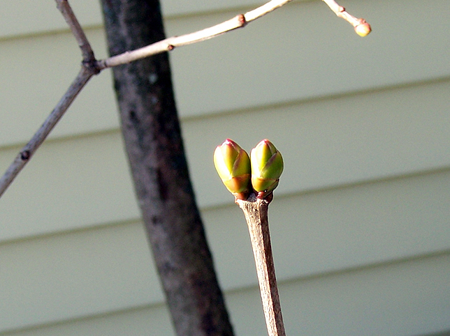 Lilac buds in fall