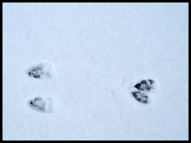 Possible rabbit tracks