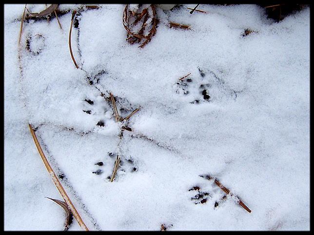 Woodchuck tracks?