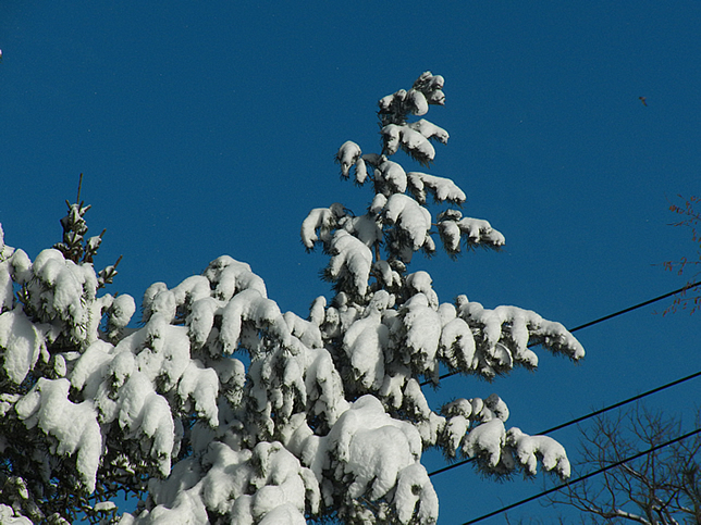 Spruce dressed in snow